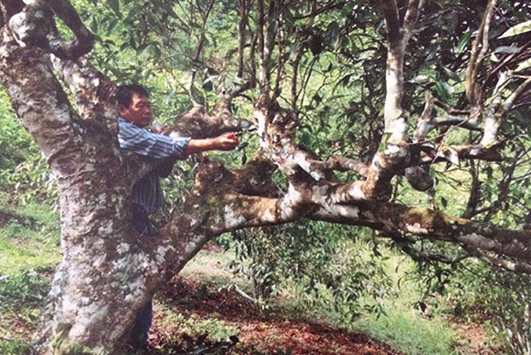 Старые чайные деревья в Таиланде фото