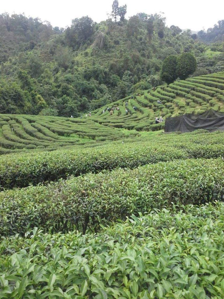 Чайная плантация Вави