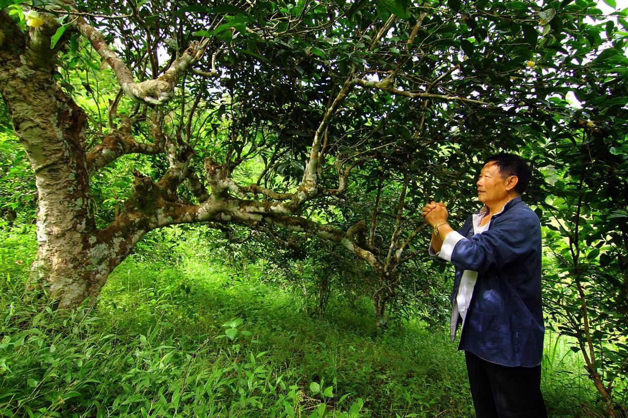 Чайный сад Вави