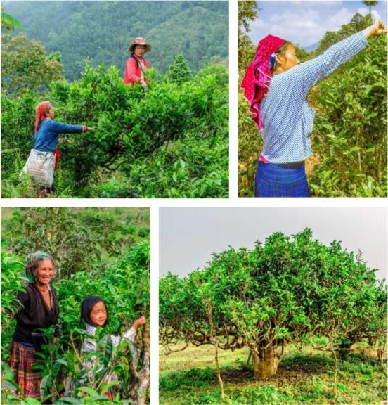 Чайные деревья Вьетнам фото